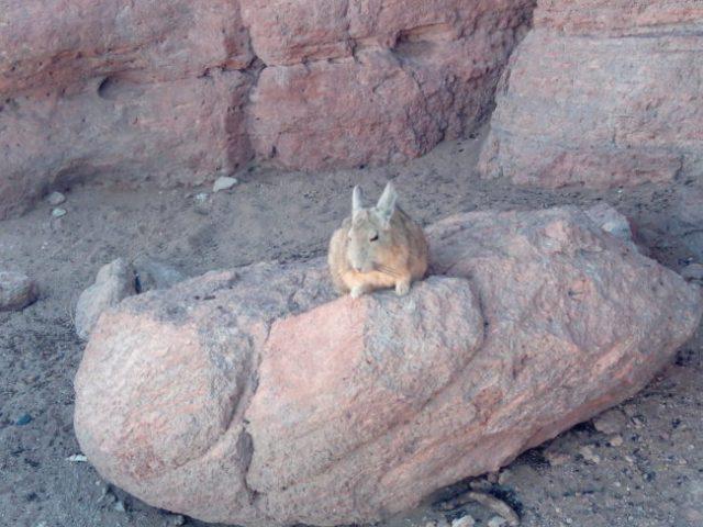 lapin-chelou-bolivie-desert