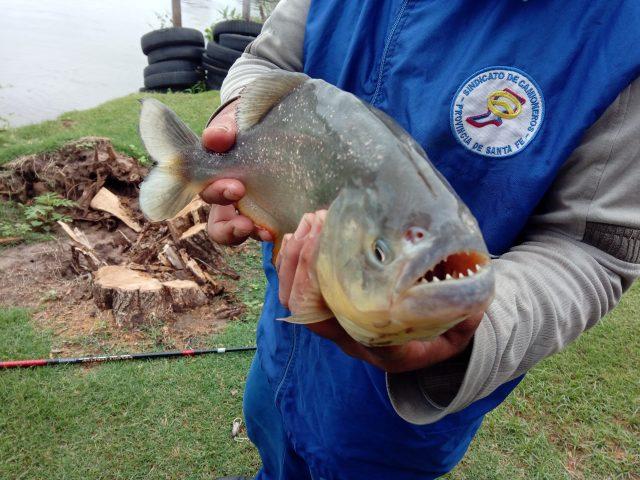 piranha-pêche